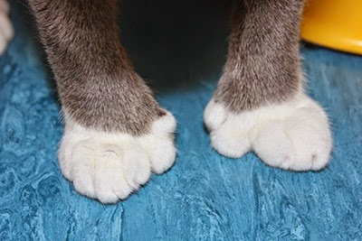 A cat with extra toes