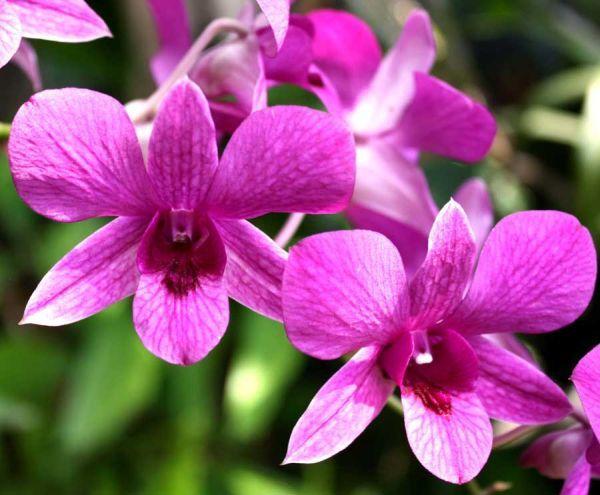 Gambar Bunga Anggrek Ungu
