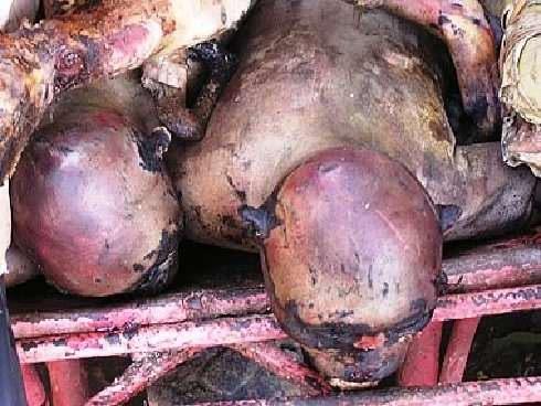Sadis Di Sini Monyet Di Bunuh Untuk Di Makan [ www.BlogApaAja.com ]