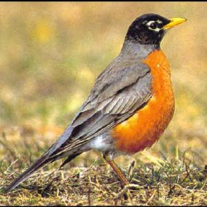 Download image Robins Jpg PC, Android, iPhone and iPad. Wallpapers and