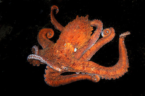 Giant Devilfish Octopus Everything Octopus: Sa...