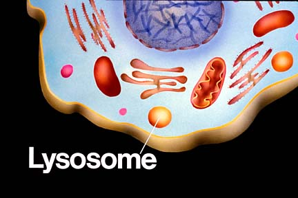 Lysosomes  have digestive enzymes that breakdown things like bacteria    Plant Cell Lysosome Located