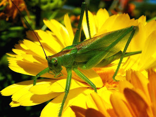 grasshopper on a yellow flower (14)