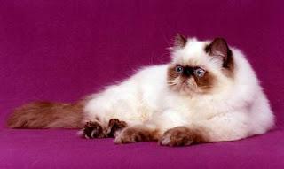 himalayan cat kitten pussy mace macka kat kass katze gato con kissa pets Haustiere huisdieren animaux de compagnie kucni ljubimci augintiniai