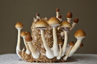 Culture champignons magiques - Blog Information et Décharge