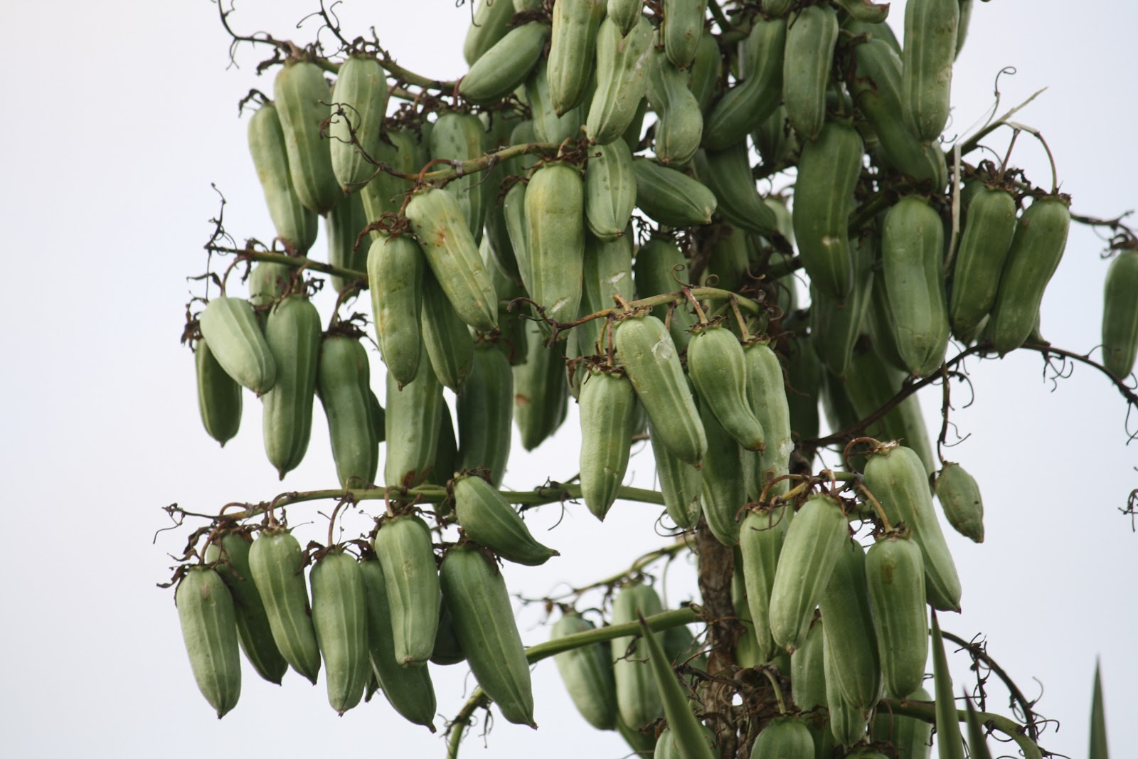 how to grow yucca from seed