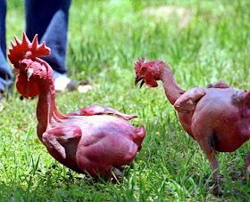 Ayam Bugil Israel