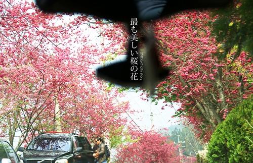CITYSTORY旅遊部落格: 【南投信義景點●草坪頭櫻花】春暖花開-2011南投櫻花季(祭)