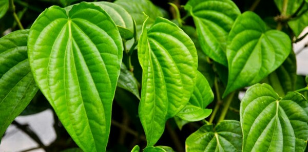 daun sirih mengobati keputihan, hijau daun
