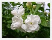 10 Manfaat Bunga Melati sebagai Obat Kesehatan