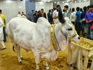 (Eid ul Adha) Bakra Eid Cow Qurbani 2013