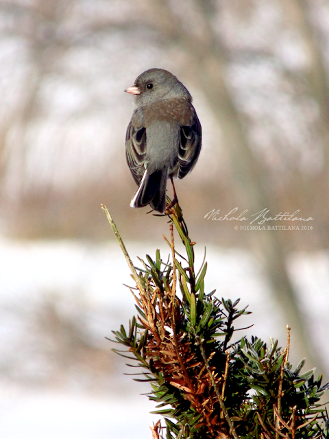 Dark Eyed Junco - Nichola Battilana
