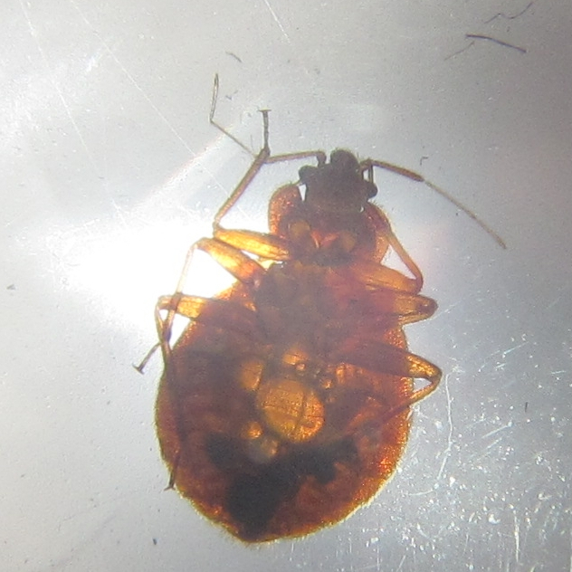 Bedbug With Hunger Bubbles