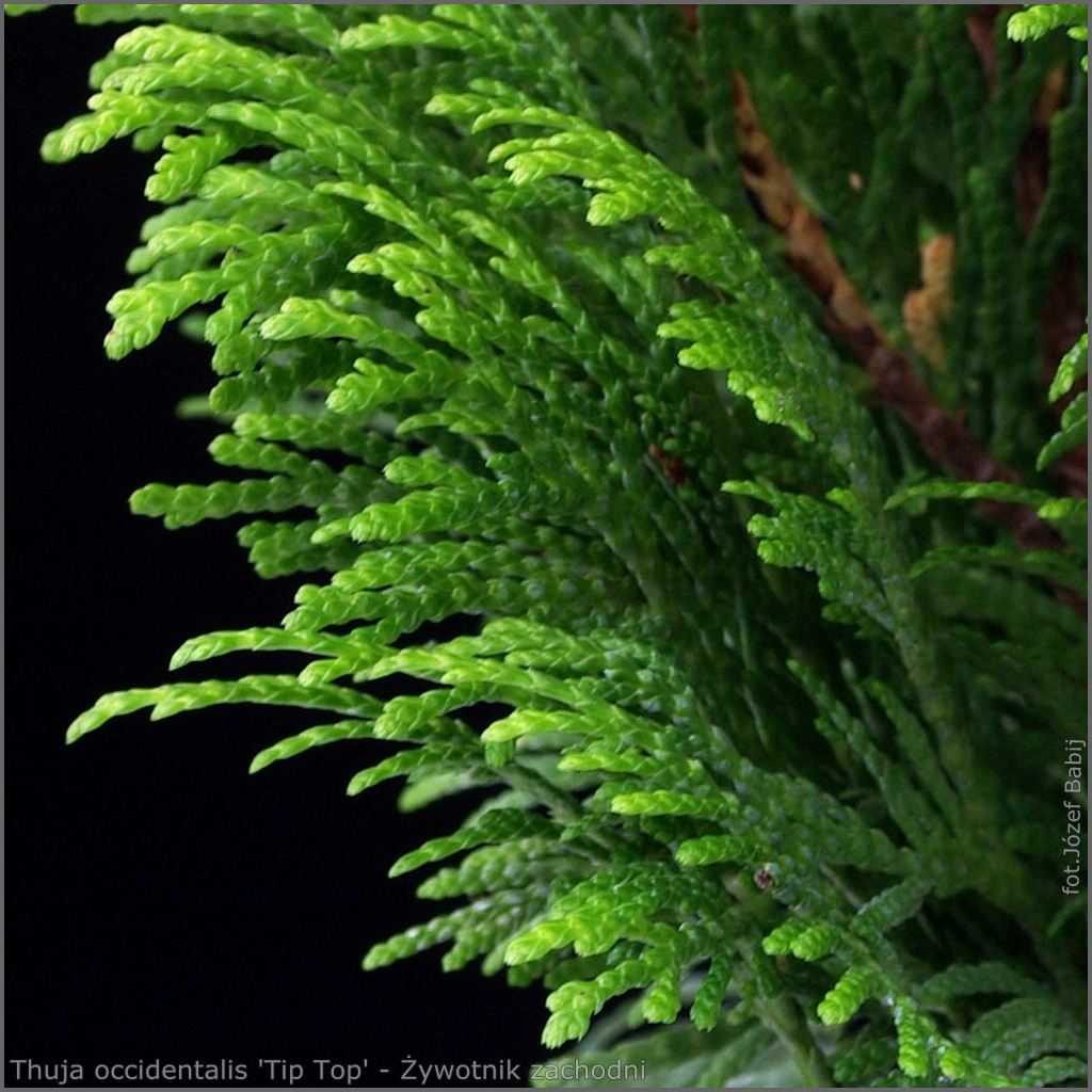 Thuja occidentalis 'Tip Top' - Żywotnik zachodni 'Tip Top'