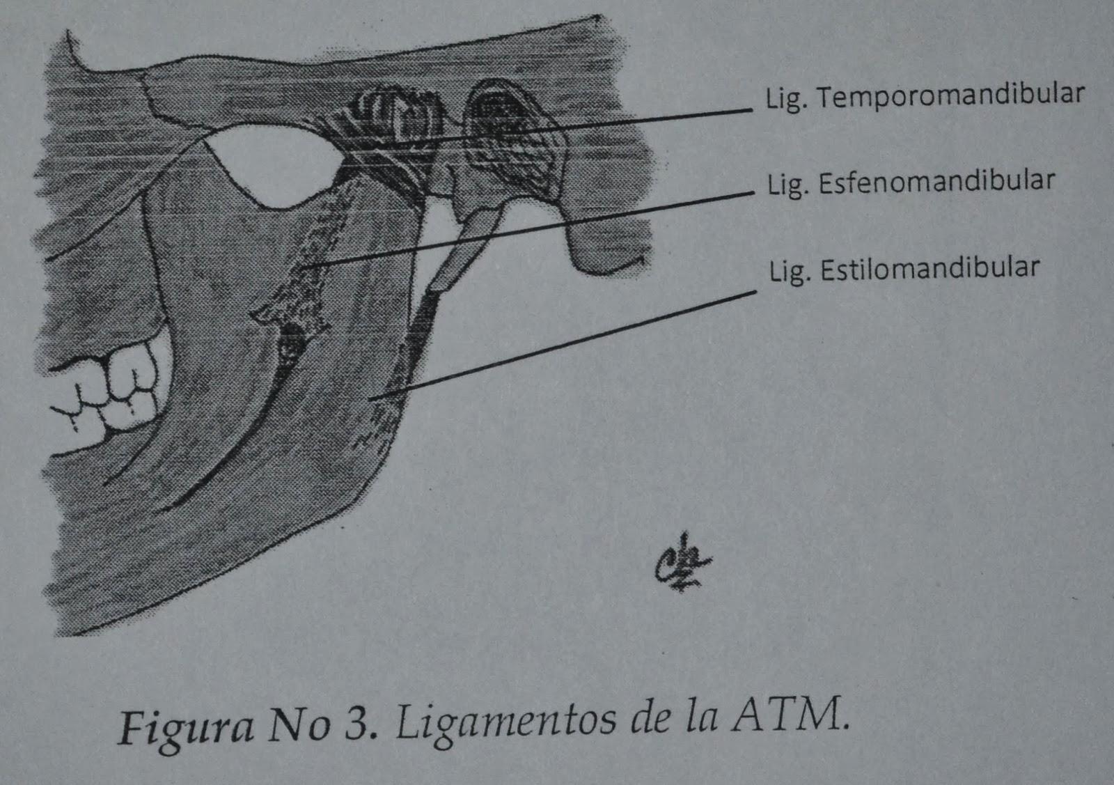 Orthodontics Team: ANATOMÍA CLÍNICA DE LA ARTICULACIÓN ...