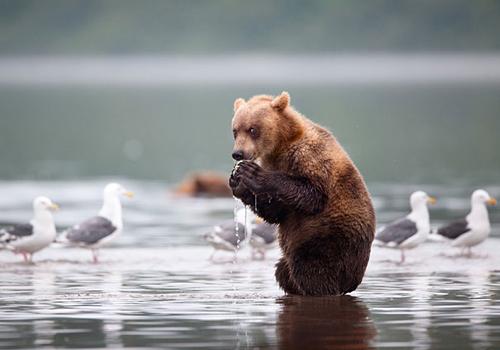 Urso comendo