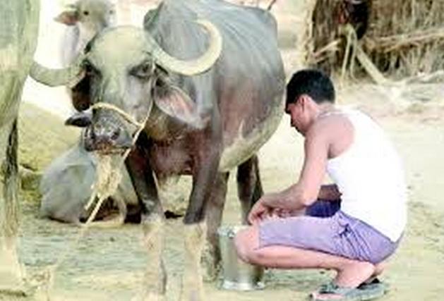 How to Increase the Buffalo Milk