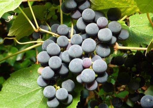 Ricetta e ricette liquore di uva fragola da bere e da for Sognare uva fragola
