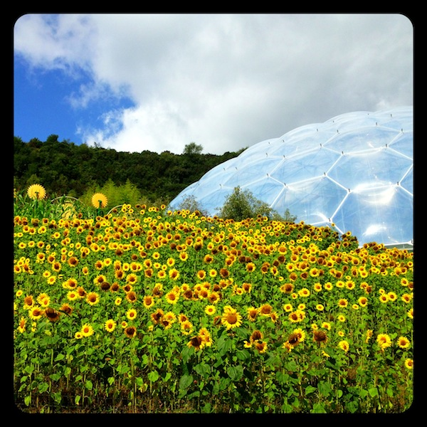 Eden Project Sunflowers