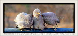 Jungle Babbler Family, Ranthambore, Rajasthan, India
