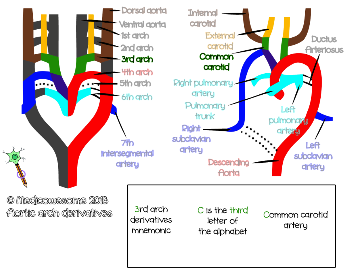 Medicowesome: Aortic arch derivatives mnemonic images