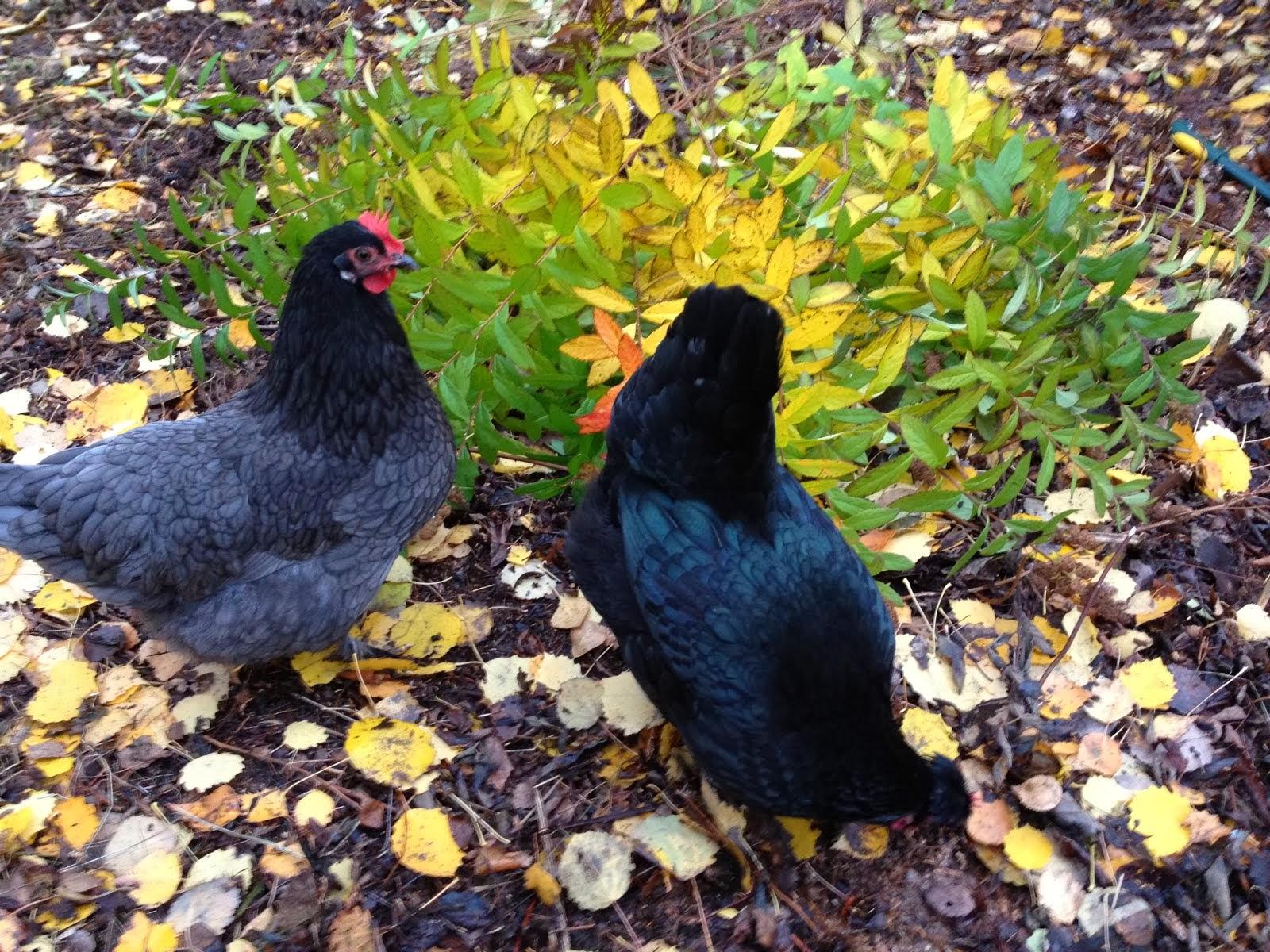 """Mina två """"urhönor"""" Dora och Maja, som givit många kycklingar. Maja finns tyvärr inte mer."""