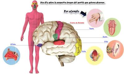 5 sentido cuerpo humano: