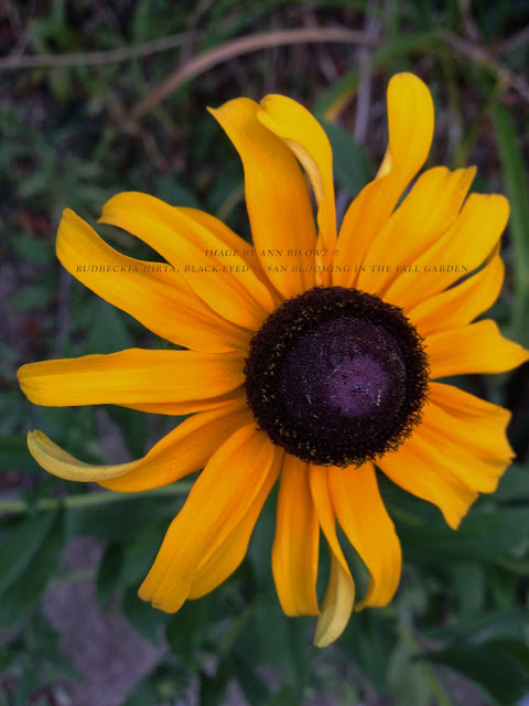 Rudbeckia hirta, black-eyed Susan blooming in the fall garden