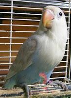 Lovebird Pastel Putih Kepala Elang