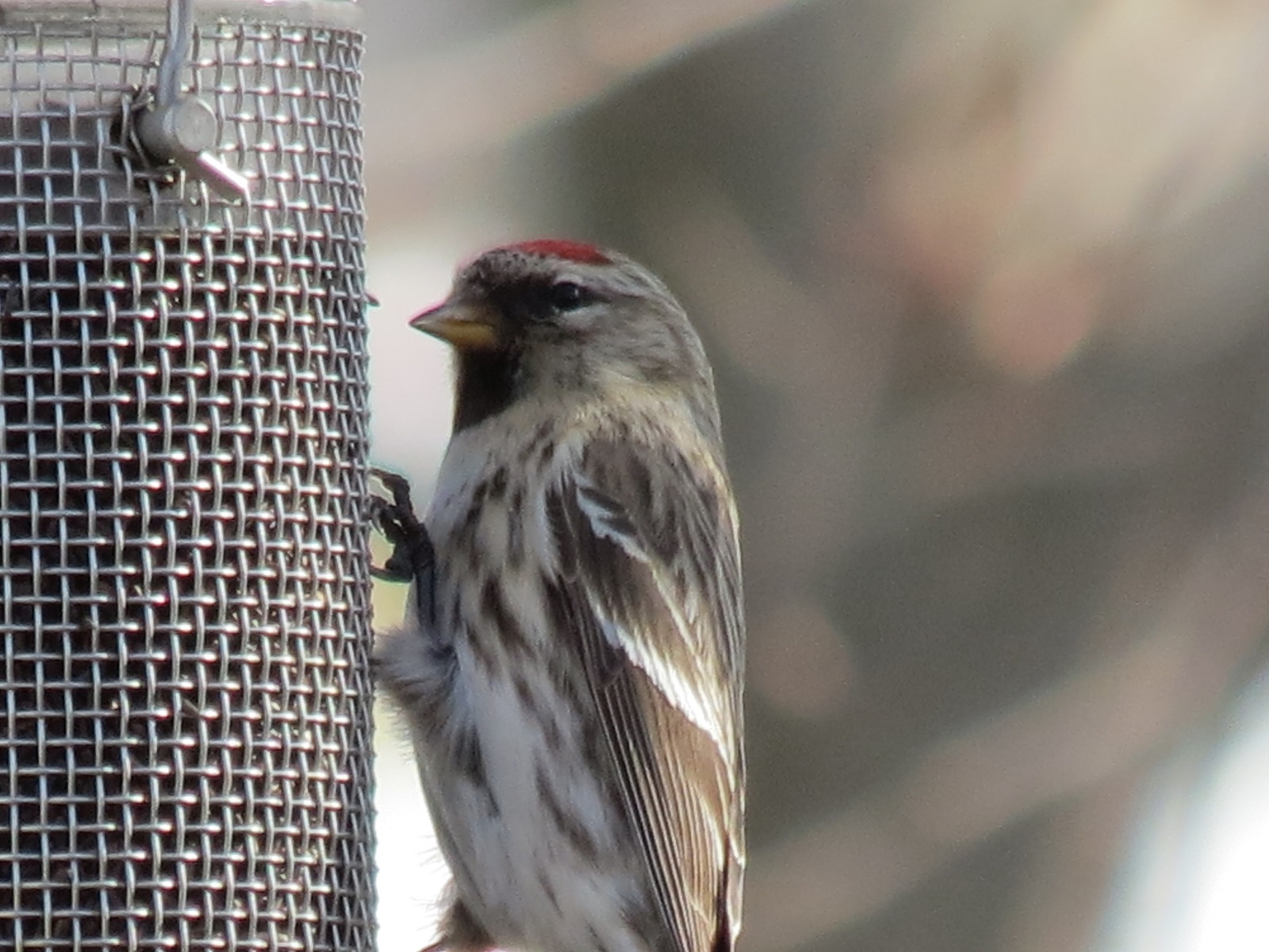 A Brownish Grey Finch With Dark Streaks And Red Patch On Its Head This Is Female The Males Have More Their Breast It Looks Little Like
