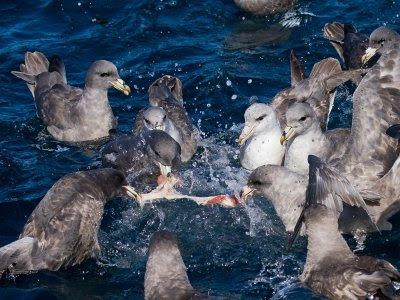 Oregon sea bird: Northern Fulmar