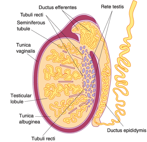 Mbbs Medicine Humanity First Male Reproductive System Histology