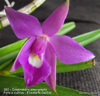 Dimerandra rimbachii, Oncidium emarginatum