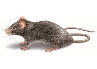 Đặc tính sinh học và sinh sản của chuột mái nhà