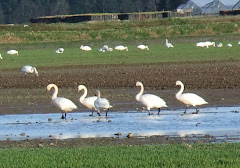 Snow Geese 4/11