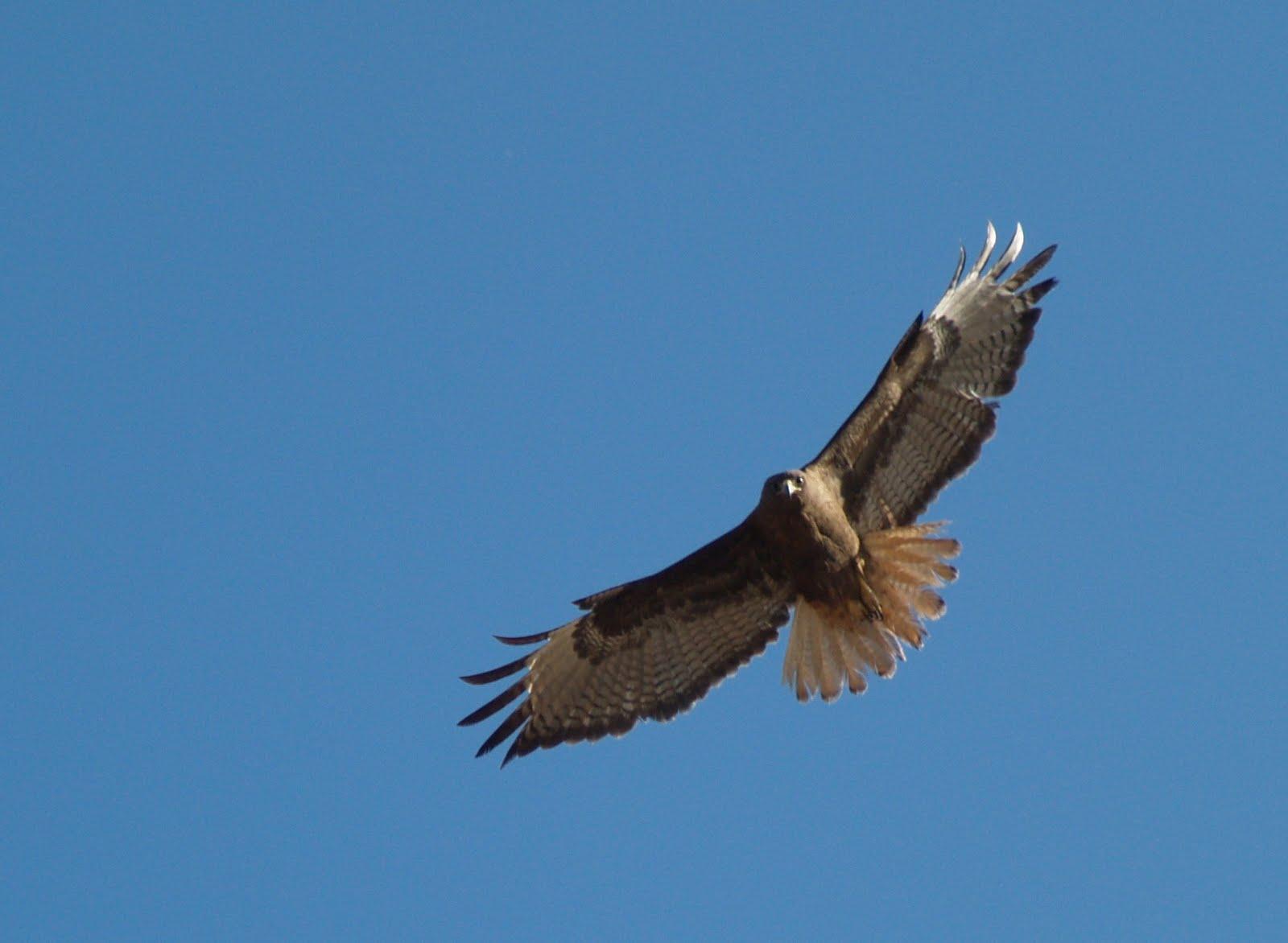 Red Tail Hawk Silhouette By the dark hawk Flying Hawk Silhouette