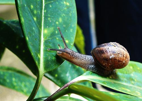 Cu date de los caracoles en el jard n cuidado de plantas for Caracoles en el jardin