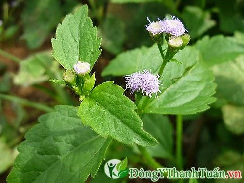 Mẹo chữa viêm mũi dị ứng từ hoa ngũ sắc