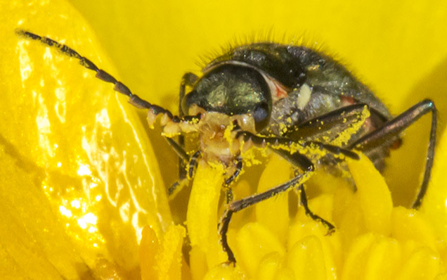 Malachite Beetle, Malachius bipustulatus, in a Meadow Buttercup, Ranunculus acris.  Jubilee Country Park, 3 June 2013.