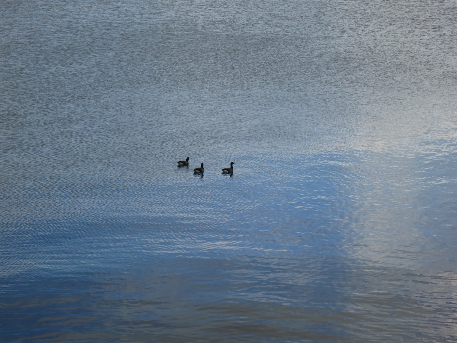 Three (Brent?) Geese swimming in Portland Harbour, Dorset