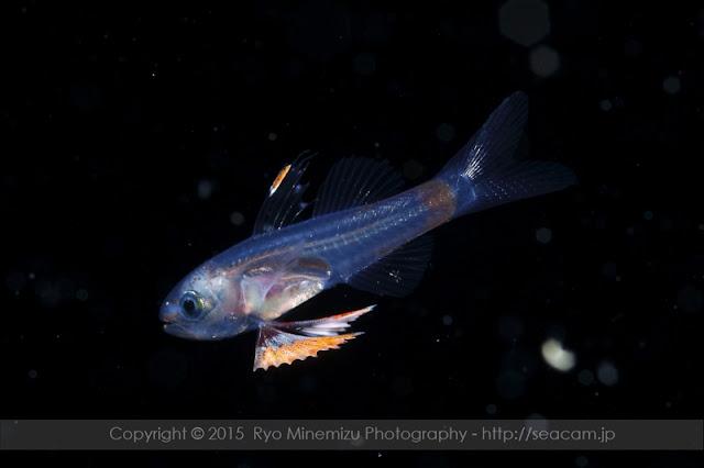 クダリボウズギス属稚魚