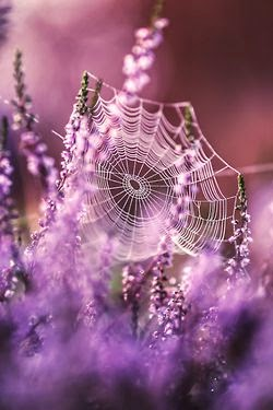 Spider Web In Lavander Field