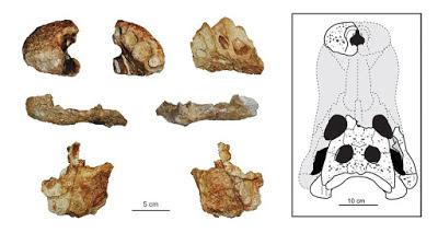 Allodaposuchus skull