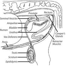 Moomoo dairies reproductive system deposited in the female reproductive tract the secondary sex organs are the epididymis vas deferens and penis the three accessory sex glands include ccuart Choice Image