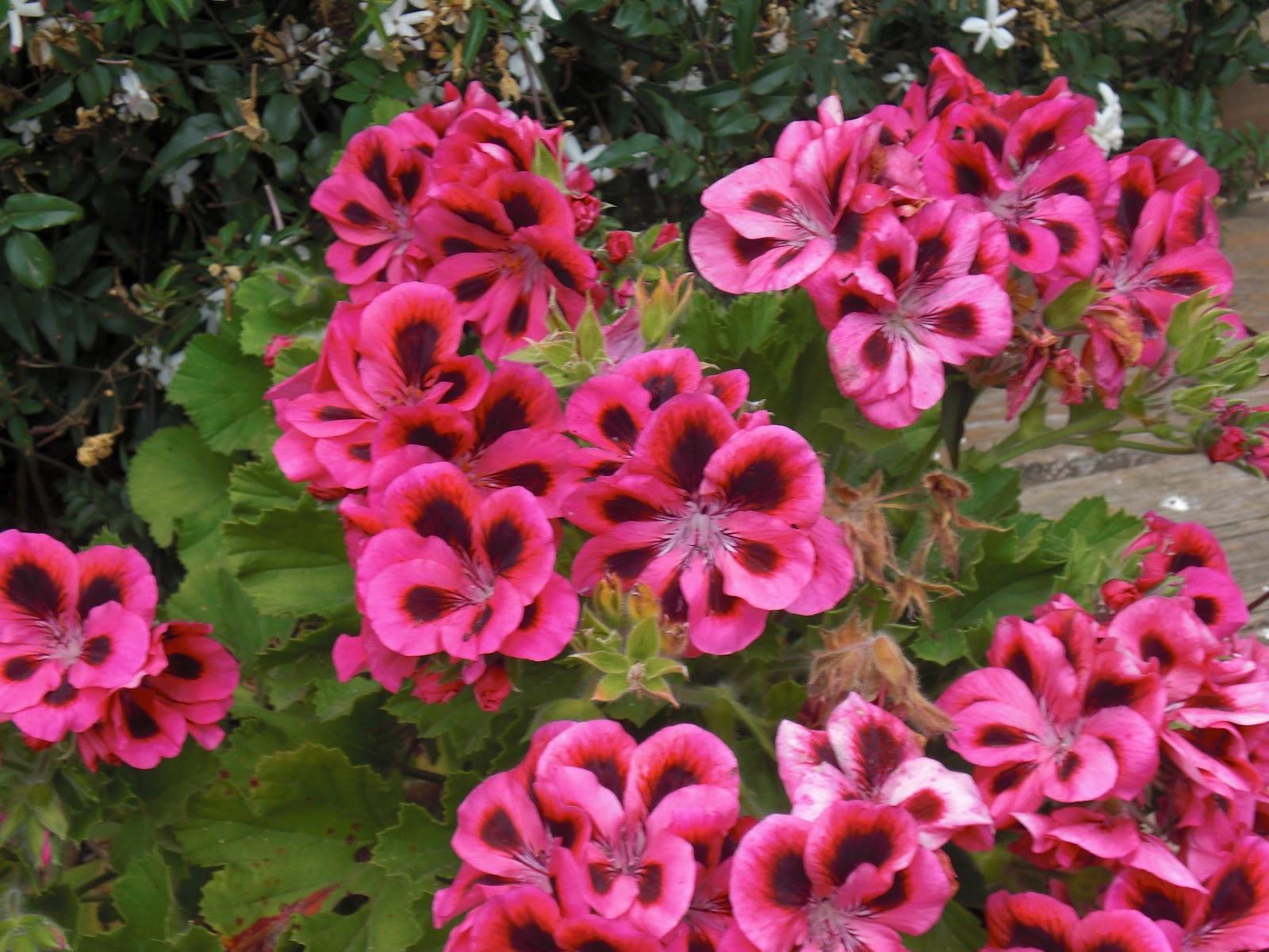 En el d a de la tierra un post de flores taringa - Geranio de pensamiento ...