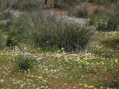 Flannel Cudweed (Actinobole uliginosum)