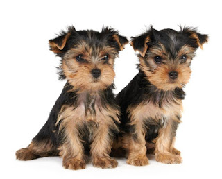 Yorkshire Terrier Puppies Pictures