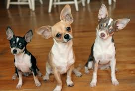 Chihuahuas pictures