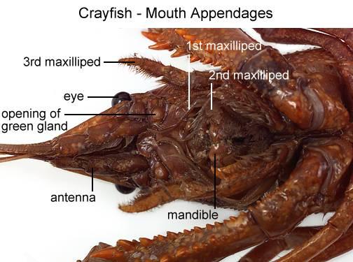 Arthropod mandible
