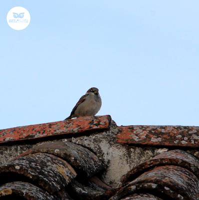 Gorrión común (Passer domesticus) pl. inv